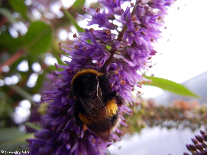 Hebe bee