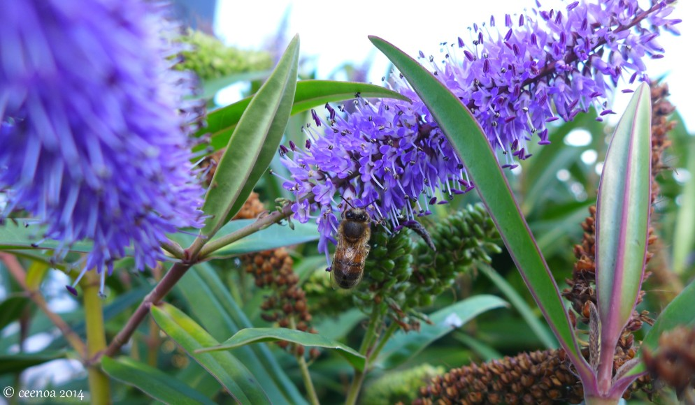 Blue Hebe and Bee