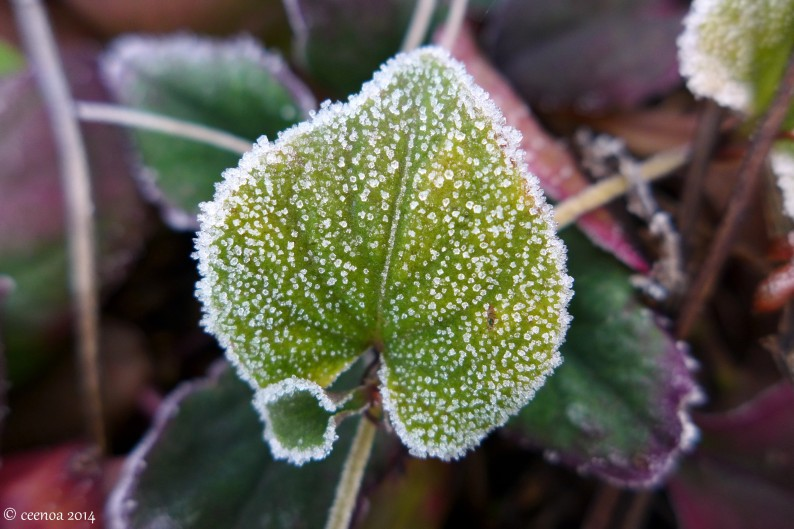 Frosted Leaf 2