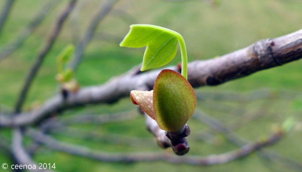Tulip Tree Leaf budding