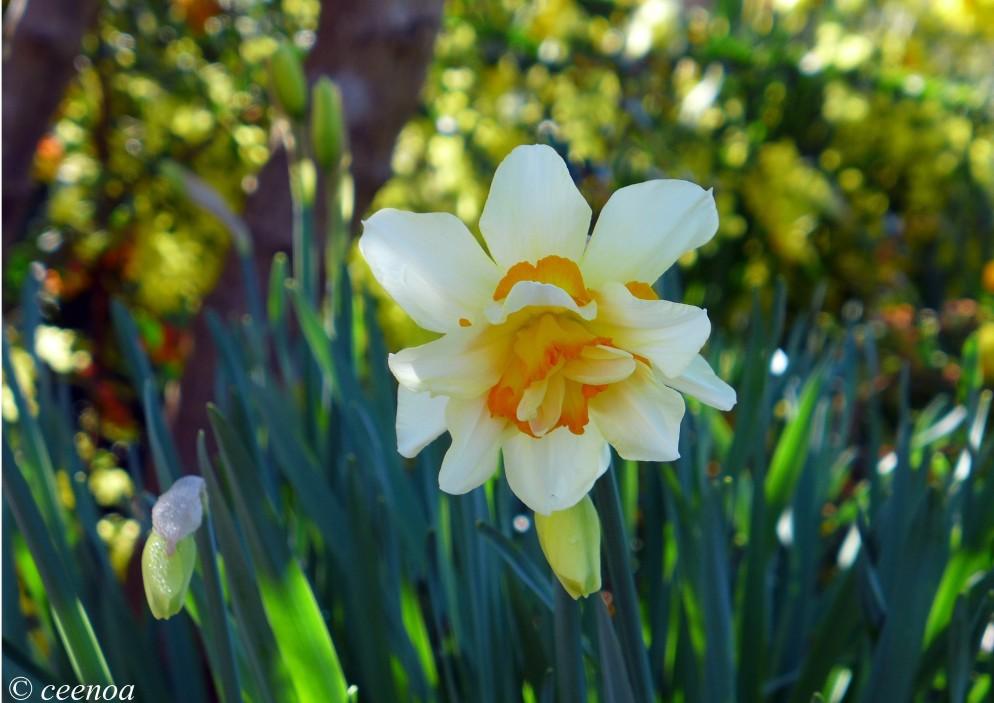 Ruffled Daffodil