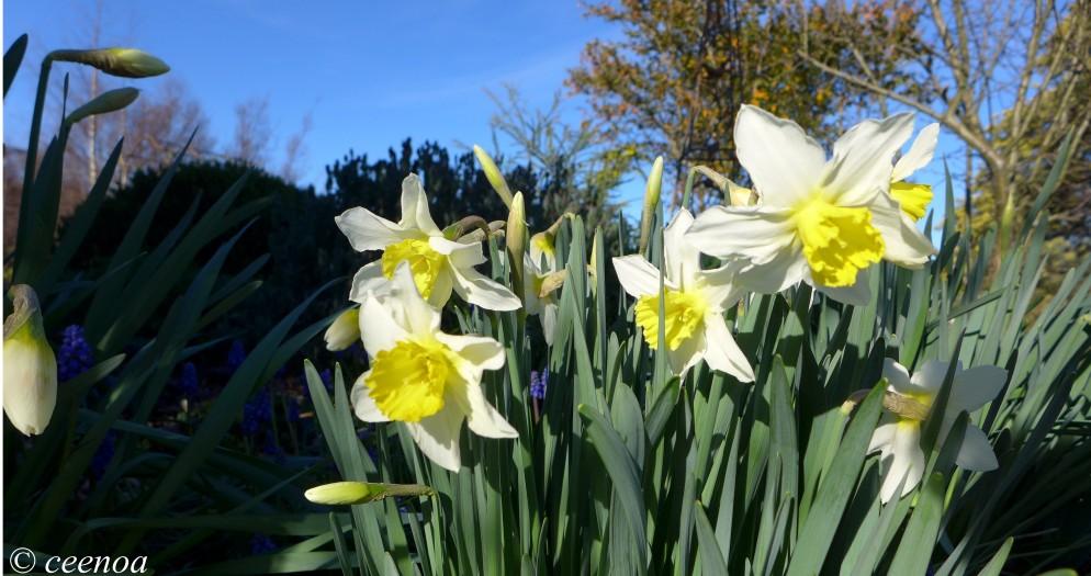 Simple Daffodils