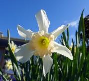 Spring Daffodil