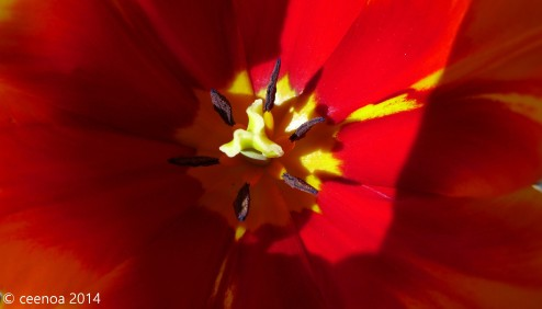 Heart of the Tulip