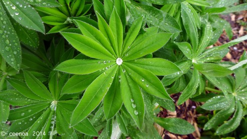 Lupin Leaf (original)
