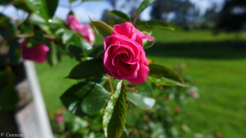 Little Pink Rose