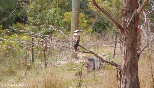 """Kookaburra sits in the old gum tree"""