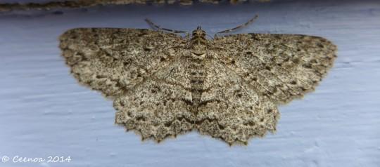Motionless Moth