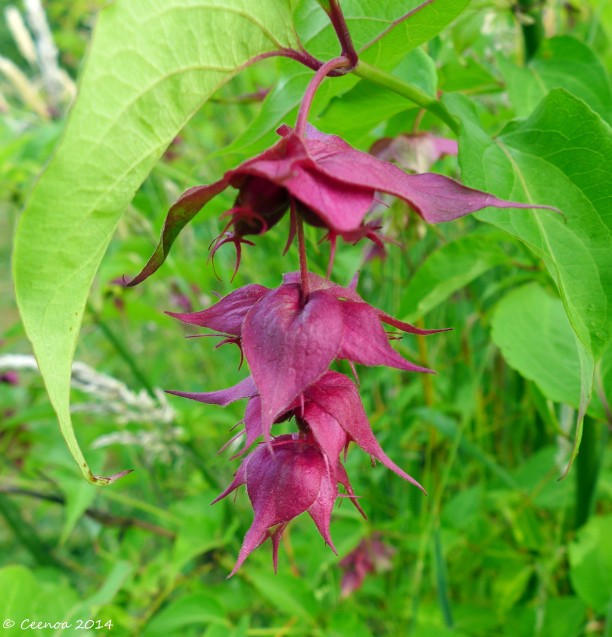 River Fuschia