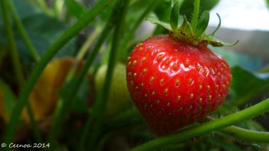 Succulent Strawberry