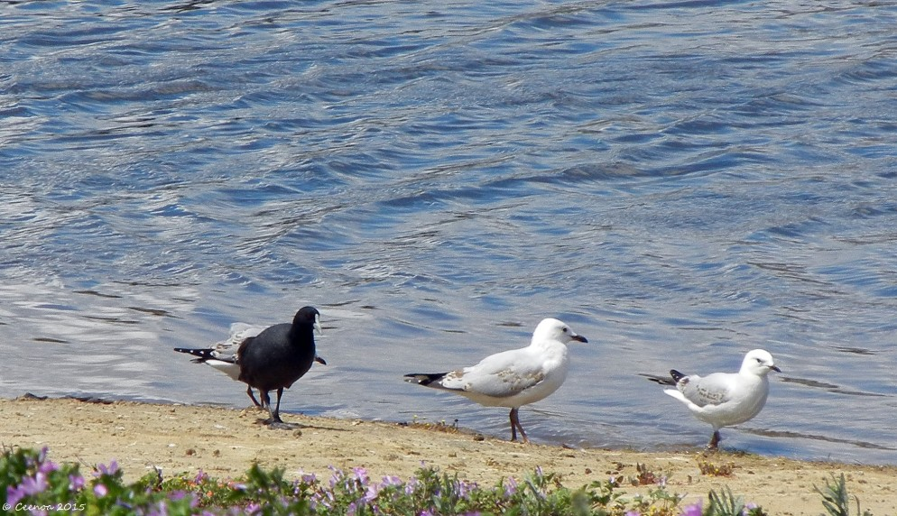 Odd Bird Out, Lake Dove, Oatlands, Tasmania