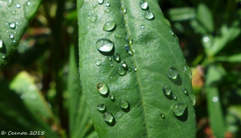 Lupin Leaf and Raindrops