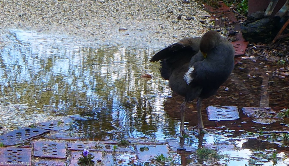 Moorhen Bathing