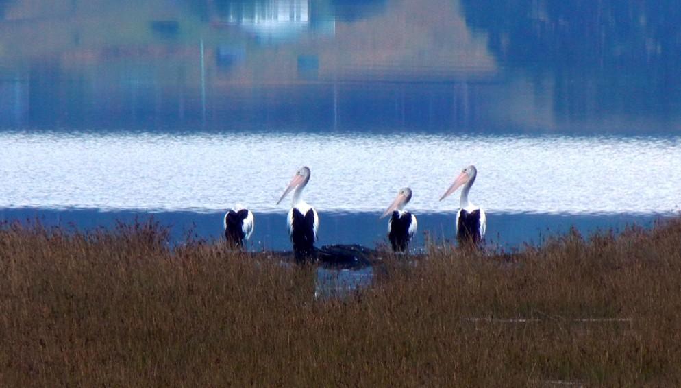 Pelicans (3)