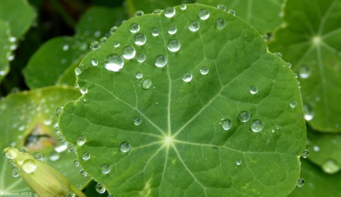 Geranium Leaf and Raindrops