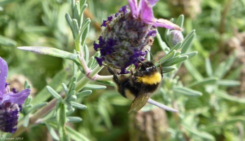 Lavendar Bee