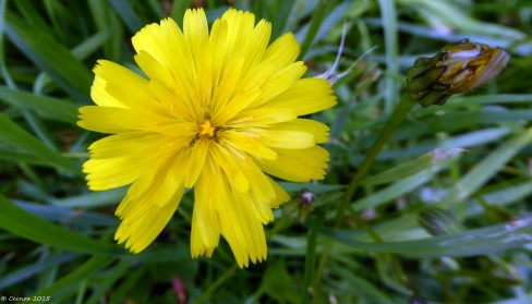 Dandelion - double ruffle