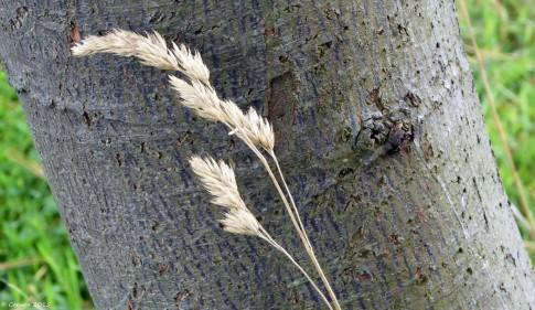 Grass against Wattle