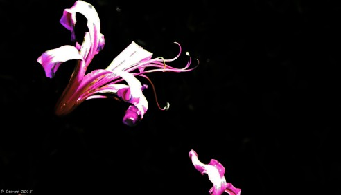 "Nerine ""Artified"""