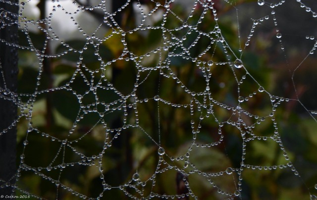 Dewdrops Web