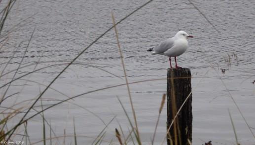 Stoic Seagull