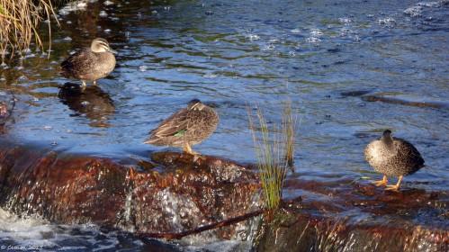 Wild Ducks (2)