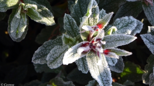 Frost on Rock Rose