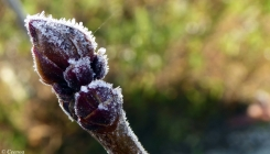 Frosted Lilac Bud