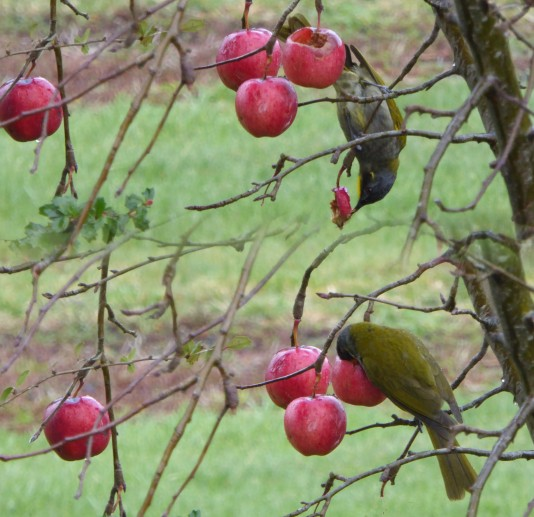 eating crabapples