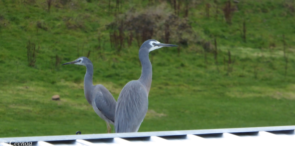 Egrets on Roof