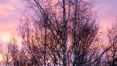 Sunrise through Silver Birch
