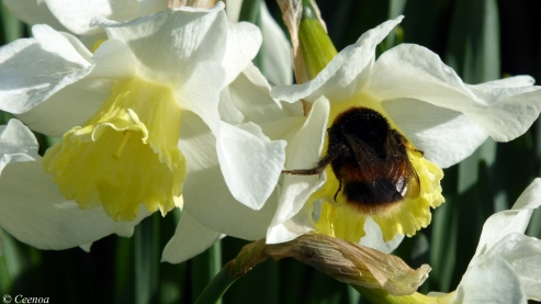 Bumble of Daffy