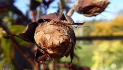 Dead Rose Bud
