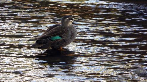 Duck Contemplation (1)