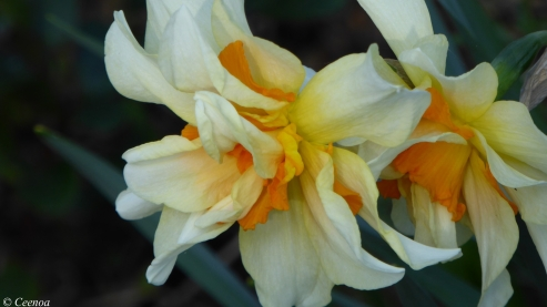 early Spring Daffodils (1)