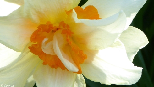 early Spring Daffodils (4