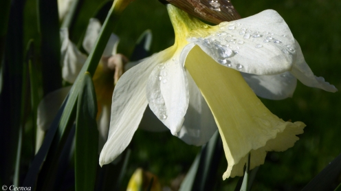 early Spring Daffodils (8)