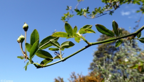 Banksia Bud
