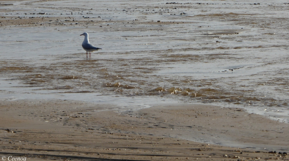 Seagulls at Buttons beach (1)