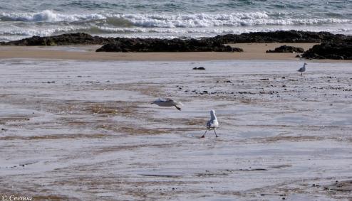 Seagulls at Buttons beach
