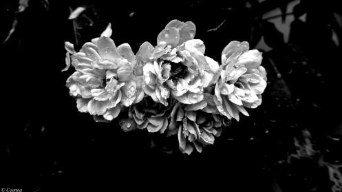 Banksia (B & W)