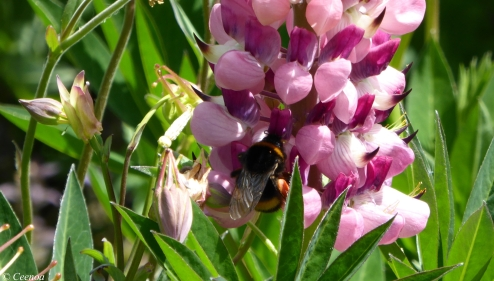 Bumble on Lupin