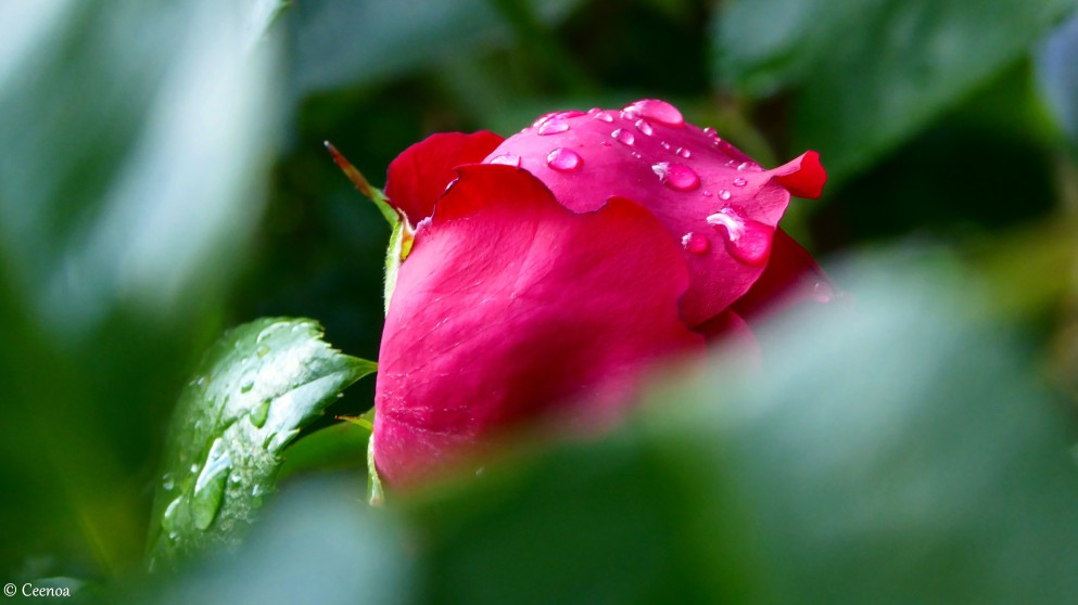 Rose and Raindrops (2)