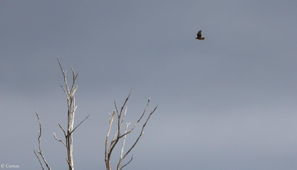 Sentinel & Hawk
