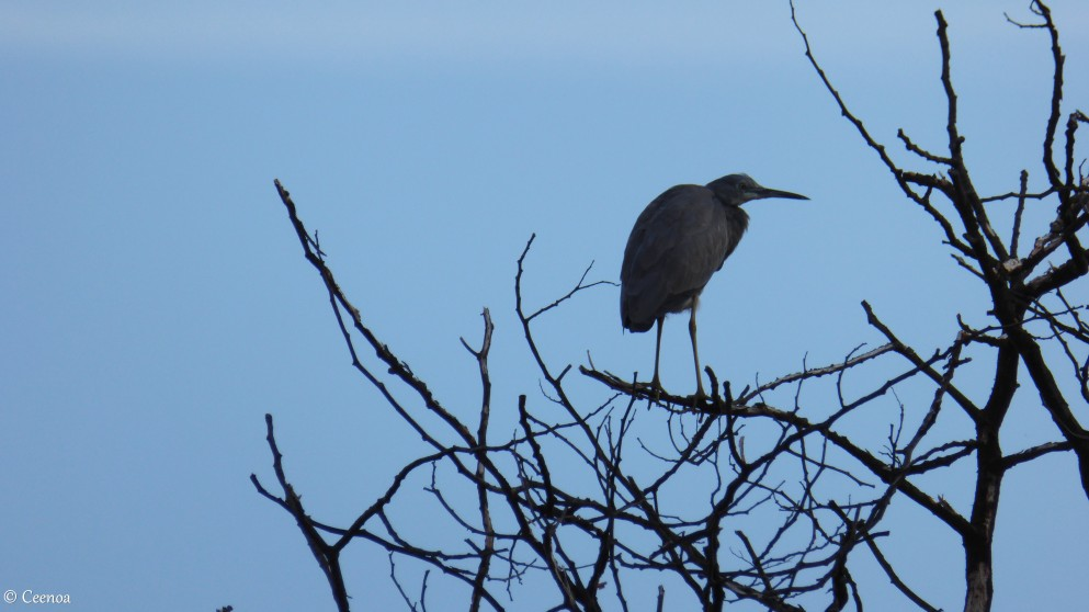 Egret on Tree (1)