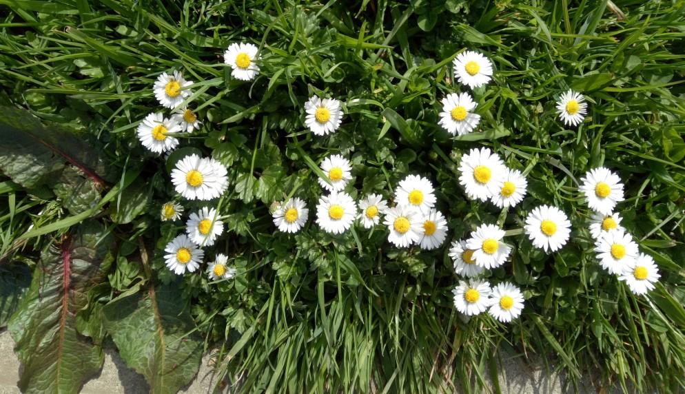 lawn-daisies