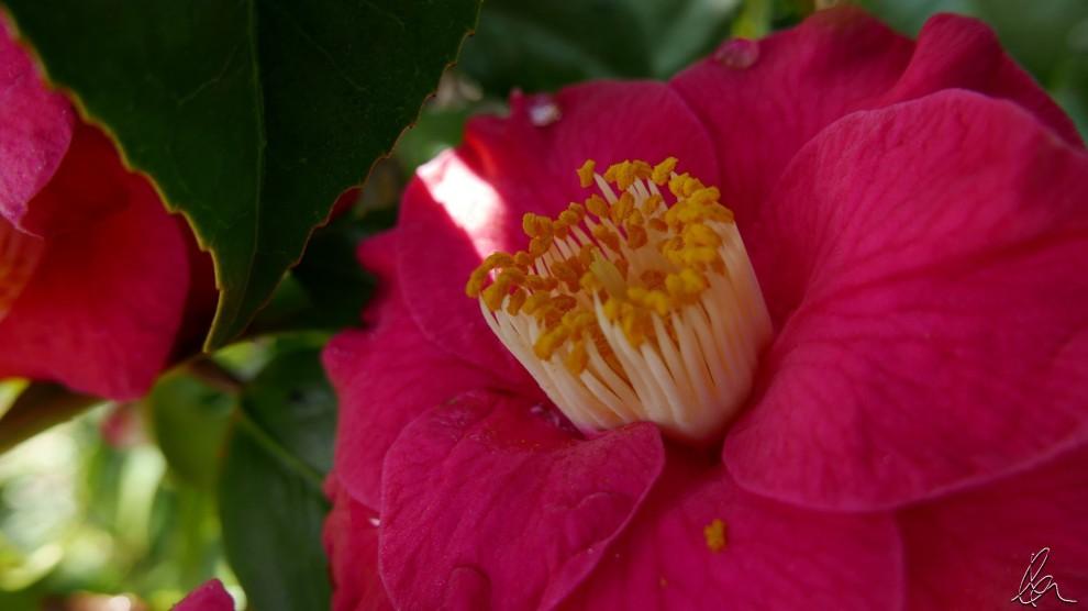 camellia-stamens