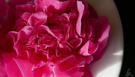 mums-camellia-2