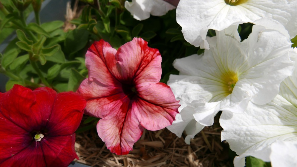 petunia-sport-duo-colour