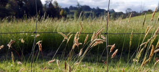 evening-grass